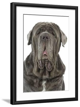 Neapolitan Mastiff--Framed Photographic Print