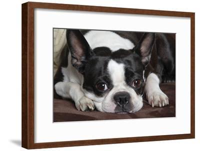 Boston Terrier--Framed Photographic Print