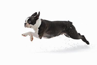 Boston Terrier Running in Snow--Framed Photographic Print