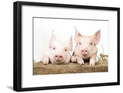 Piglets Looking over Fence--Framed Photographic Print