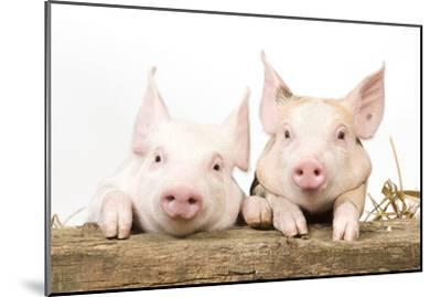 Piglets Looking over Fence--Mounted Photographic Print