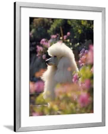 Poodle--Framed Photographic Print
