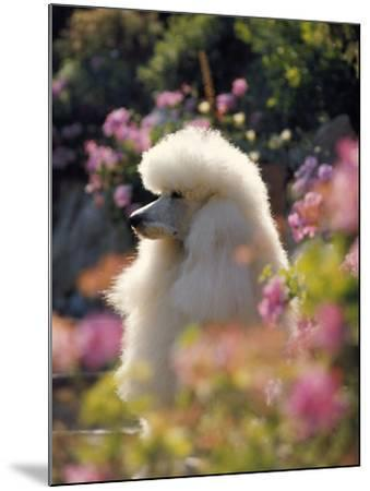 Poodle--Mounted Photographic Print