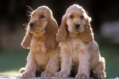 Cocker Spaniel Dogs--Framed Photographic Print