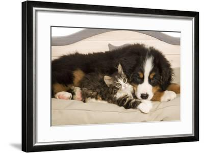 Bermese Mountain Dog Puppy with Kitten on Dog Bed--Framed Photographic Print