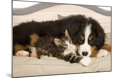 Bermese Mountain Dog Puppy with Kitten on Dog Bed--Mounted Photographic Print