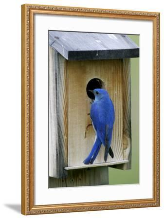 Mountain Bluebird Male at Nest Box--Framed Photographic Print