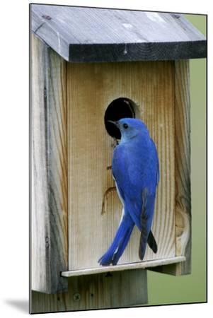 Mountain Bluebird Male at Nest Box--Mounted Photographic Print