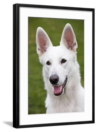 White Swiss Shepherd Dog--Framed Photographic Print