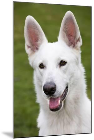 White Swiss Shepherd Dog--Mounted Photographic Print