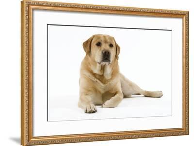 Yellow Labrador Lying Down--Framed Photographic Print