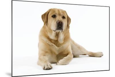 Yellow Labrador Lying Down--Mounted Photographic Print