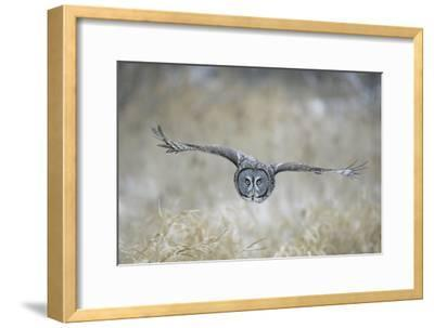 Great Grey Owl in Flight--Framed Photographic Print