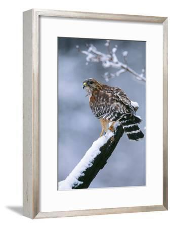 Red-Shouldered Hawk Adult in Snow--Framed Photographic Print