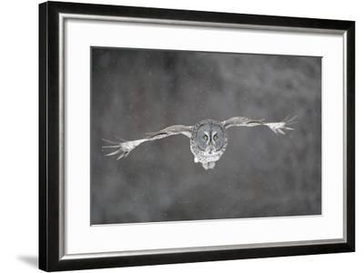Great Grey Owl Flight--Framed Photographic Print