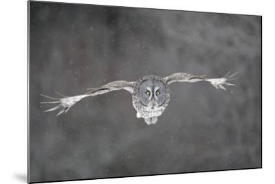 Great Grey Owl Flight--Mounted Photographic Print