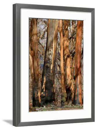 Regrow on Gum Trees after Bush Fire--Framed Photographic Print