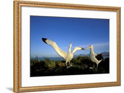 Wandering Albatross Courtship Display--Framed Photographic Print