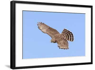 Cooper's Hawk Immature in Flight--Framed Photographic Print