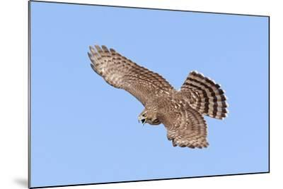 Cooper's Hawk Immature in Flight--Mounted Photographic Print