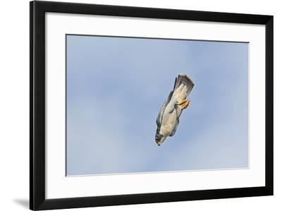 Peregrine Falcon Adult in Flight--Framed Photographic Print
