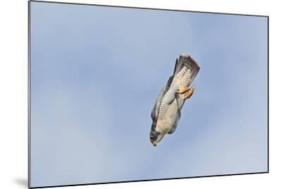 Peregrine Falcon Adult in Flight--Mounted Photographic Print