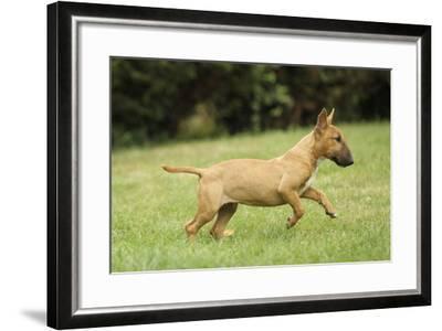 Miniature Bull Terrier--Framed Photographic Print