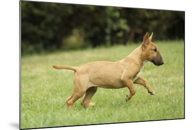 Miniature Bull Terrier--Mounted Photographic Print