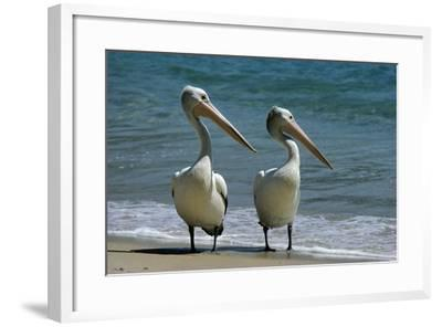 Australian Pelican Two Birds at Wateros Edge--Framed Photographic Print