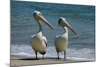 Australian Pelican Two Birds at Wateros Edge--Mounted Photographic Print