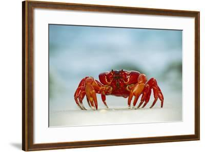 Land Crab Single Crab on Beach Close Up--Framed Photographic Print