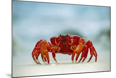 Land Crab Single Crab on Beach Close Up--Mounted Photographic Print