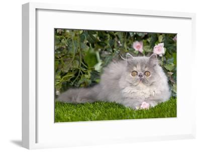 Persian Kitten in Garden Amongst Flowers--Framed Photographic Print