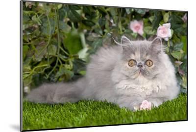 Persian Kitten in Garden Amongst Flowers--Mounted Photographic Print