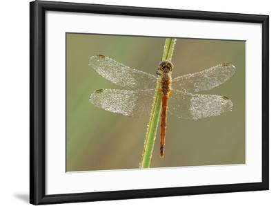 Southern Darter Dragonfly--Framed Photographic Print