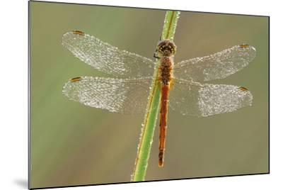 Southern Darter Dragonfly--Mounted Photographic Print