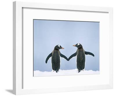 Gentoo Penguin Pair 'Holding Hands'--Framed Photographic Print