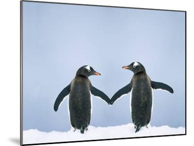 Gentoo Penguin Pair 'Holding Hands'--Mounted Photographic Print