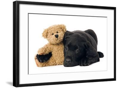 Black Labrador Puppy in Studio with Teddy Bear--Framed Photographic Print