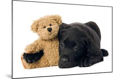 Black Labrador Puppy in Studio with Teddy Bear--Mounted Photographic Print