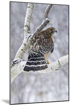 Red-Shouldered Hawk Adult Bird in Snowstorm--Mounted Photographic Print