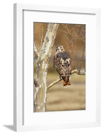 Red-Tailed Hawk Adult--Framed Photographic Print