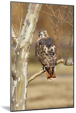 Red-Tailed Hawk Adult--Mounted Photographic Print