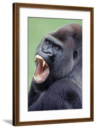 Lowland Gorilla Male with Mouth Open--Framed Photographic Print