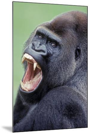 Lowland Gorilla Male with Mouth Open--Mounted Photographic Print