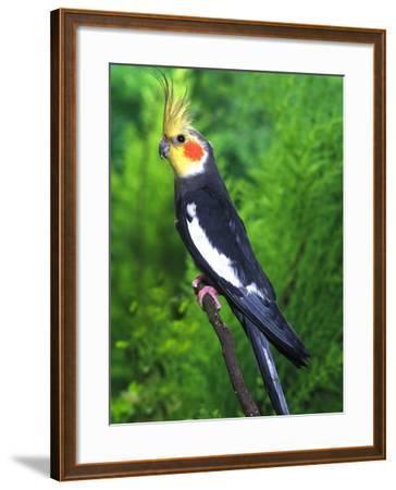 Cockatiel--Framed Photographic Print