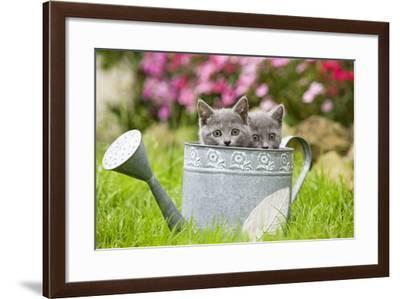 Two Chartreux Kittens in Watering Can--Framed Photographic Print