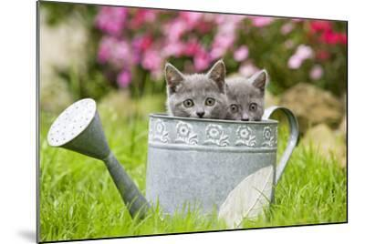Two Chartreux Kittens in Watering Can--Mounted Photographic Print