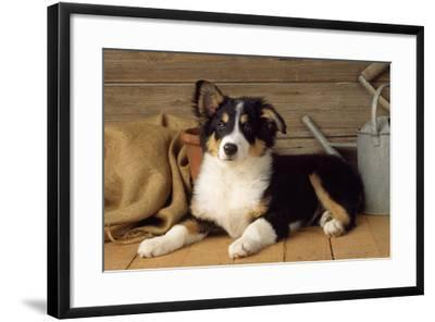 Border Collie Dog Puppy--Framed Photographic Print