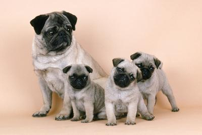 Pug Dog and 3 Puppies--Photographic Print